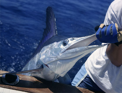 Deep Sea Fishing in The Gulf Of Mexico- Fisherman Catches Marlin