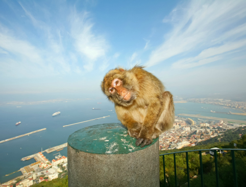 Rock of Gibraltar Monkey