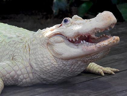 Orlando Explorer Pass- People Feeding Alligators At Gatorland