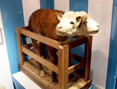Two headed Sheep - Ripley's Blackpool