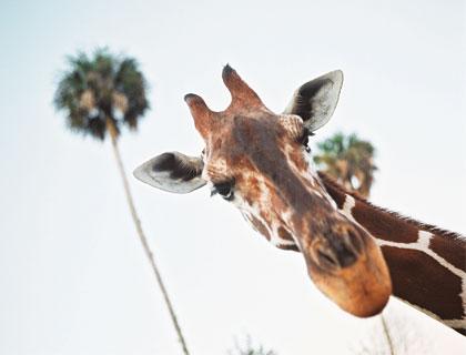 Serengeti Safari Tour - Giraffe