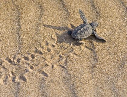Turtle Beach From Marmaris- Loggerhead Turtle Baby On Beach