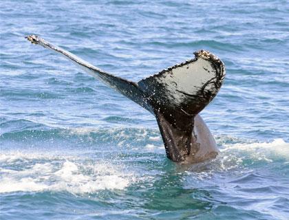 Whale Watchinig Iceland